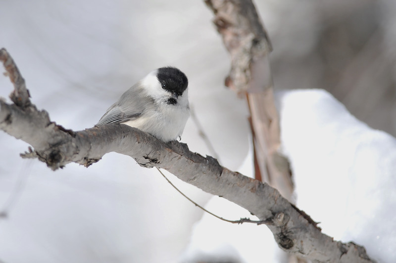 コガラと他の鳥さん_f0053272_1332245.jpg