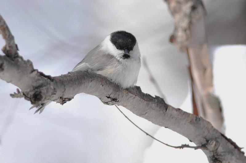 コガラと他の鳥さん_f0053272_1358100.jpg