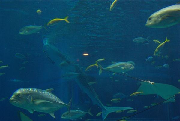 海遊館で海中散歩_d0153620_16572789.jpg