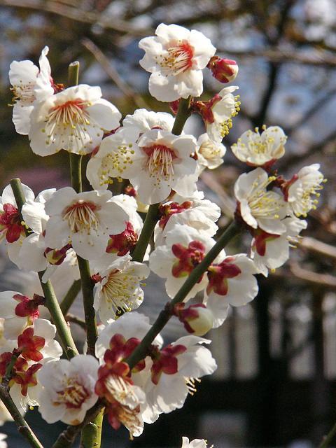 神戸北野天満神社の梅_b0063958_8391745.jpg