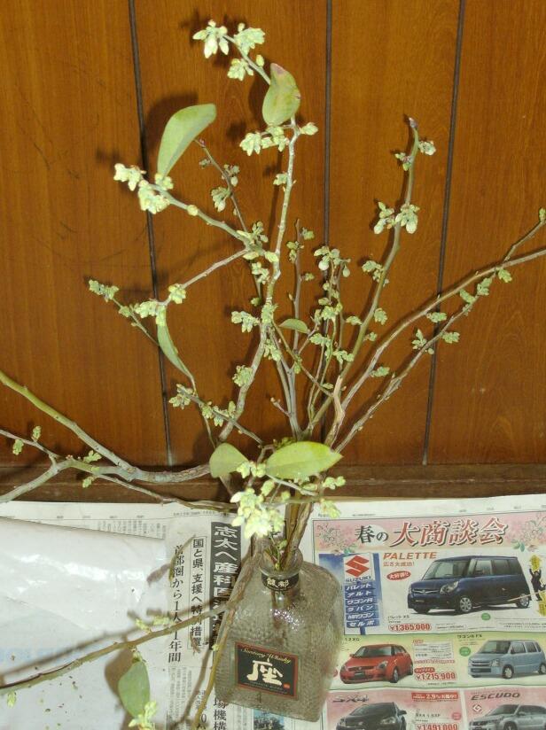 花粉採取用のブルーシャワー活け花の開花_f0018078_11574455.jpg