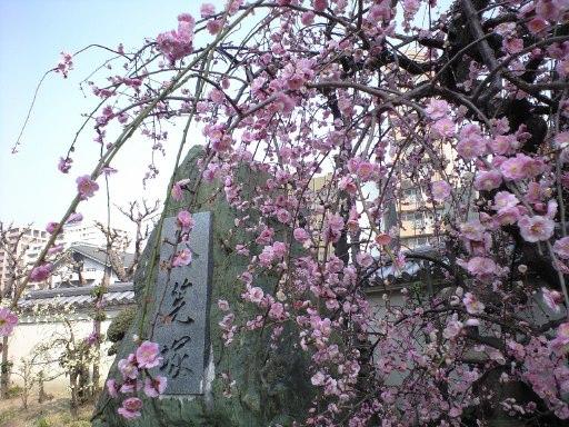 梅はさいたか、さくらはまだかいな_e0101203_1744056.jpg