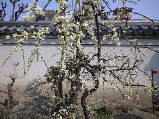 梅はさいたか、さくらはまだかいな_e0101203_17441870.jpg