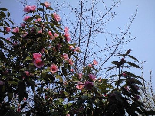 梅はさいたか、さくらはまだかいな_e0101203_1863986.jpg