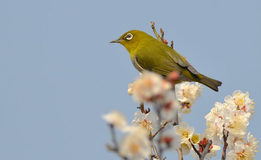 梅と鳥さん_f0053272_1544384.jpg