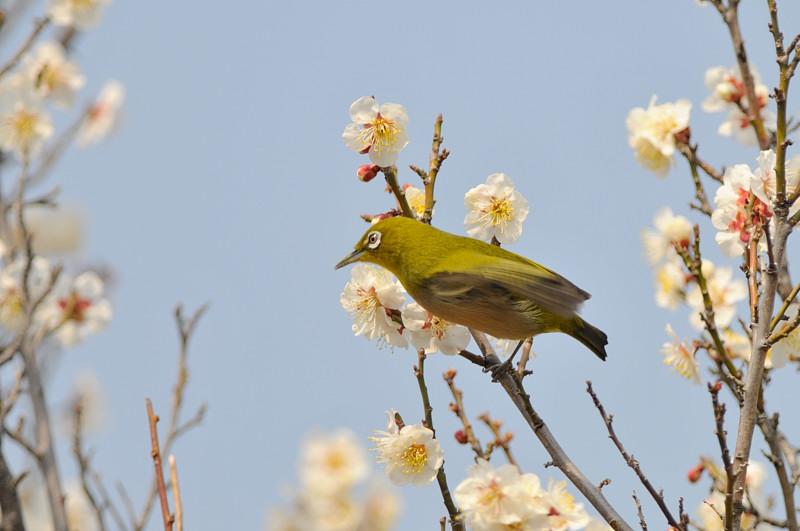 梅と鳥さん_f0053272_15463363.jpg