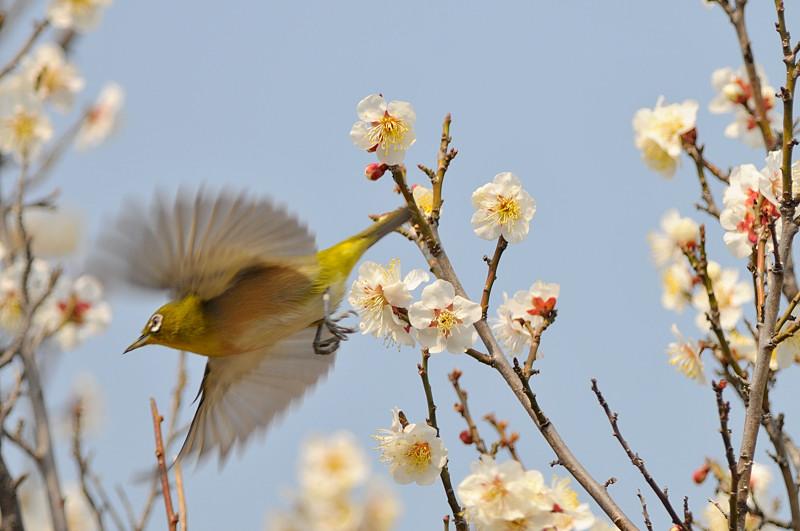 梅と鳥さん_f0053272_15465438.jpg