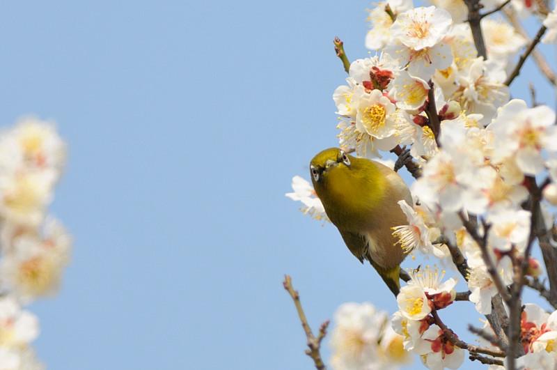 梅と鳥さん_f0053272_1546619.jpg