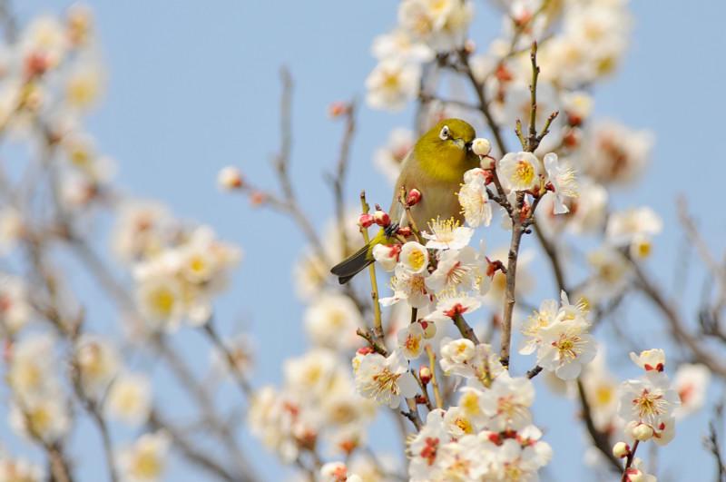 梅と鳥さん_f0053272_15473388.jpg