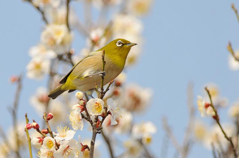 梅と鳥さん_f0053272_1548556.jpg