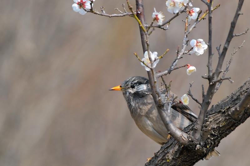 梅と鳥さん_f0053272_1549065.jpg
