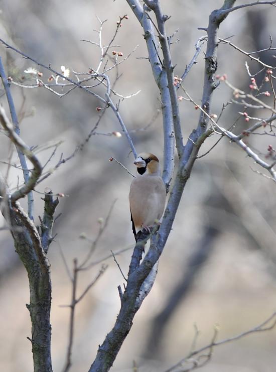 梅と鳥さん_f0053272_15511712.jpg