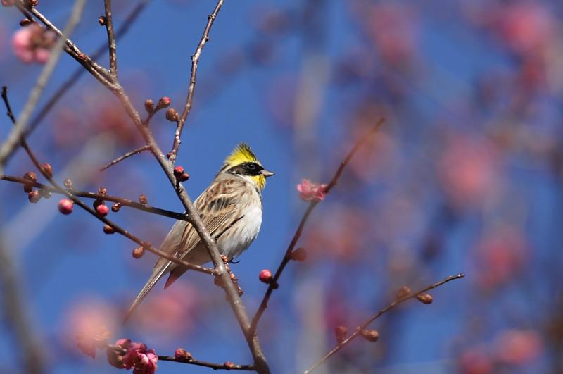 梅と鳥さん_f0053272_1553938.jpg