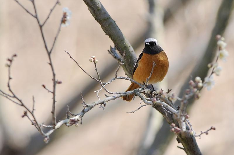 梅と鳥さん_f0053272_160680.jpg