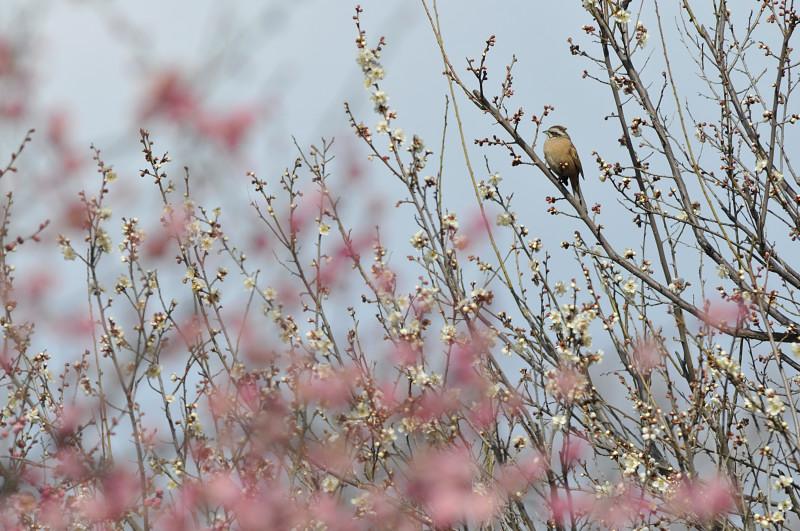 梅と鳥さん_f0053272_1623671.jpg