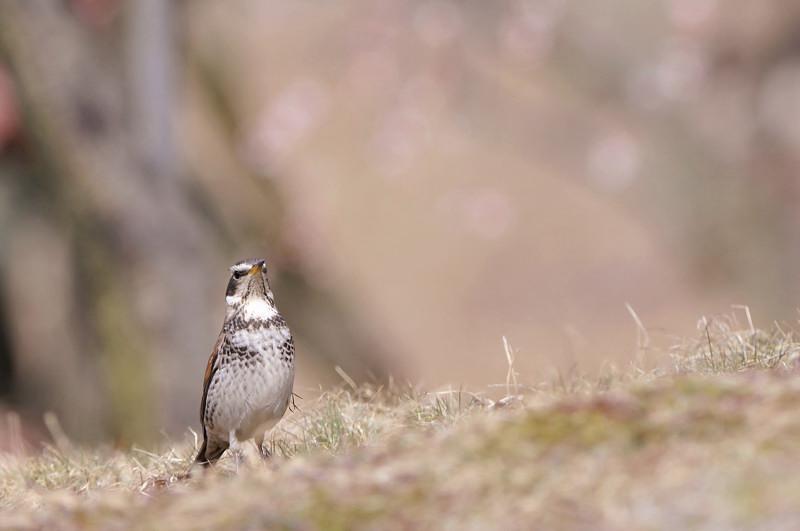梅と鳥さん_f0053272_1633912.jpg