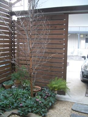 シャラの木とクリスマスローズ_c0152341_1247475.jpg