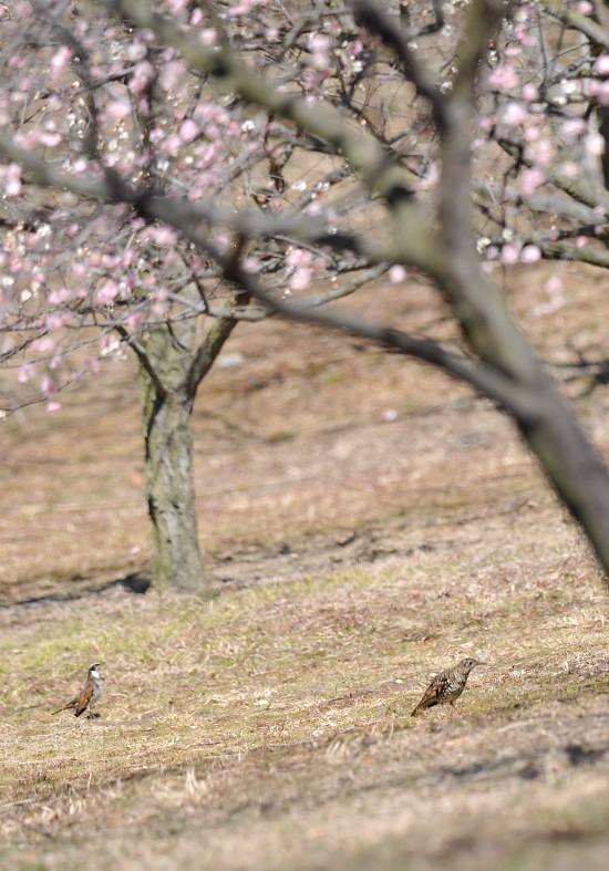 梅と鳥さん_f0053272_1313390.jpg