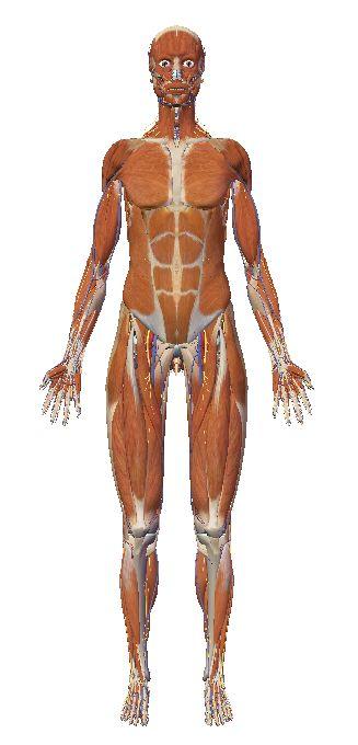 自由自在にコントロールできる3D人体模型_c0025115_20265025.jpg