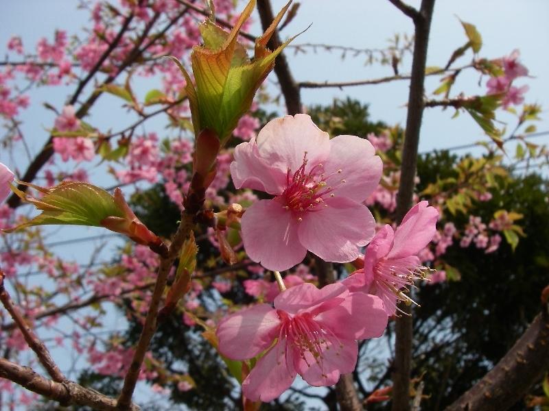 桜が咲いているぞ_a0074069_1449948.jpg