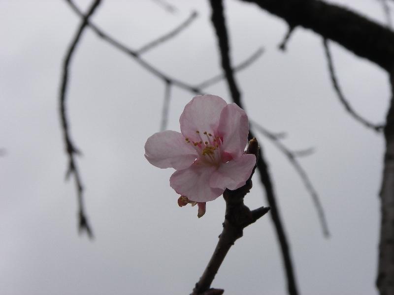 桜が咲いているぞ_a0074069_14541120.jpg
