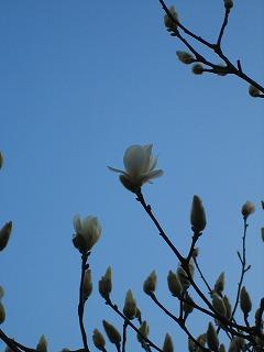 白木蓮が咲き始めました ^^_b0100229_1745583.jpg