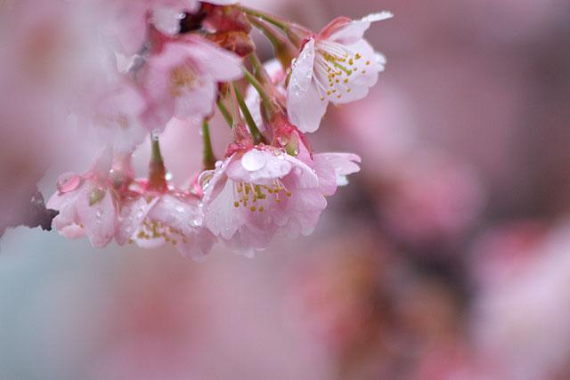 春告げ桜_c0067040_2343727.jpg