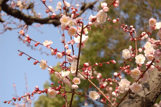 梅の花・・♪♪♪&イベントのお知らせ・・・_c0055551_16492495.jpg