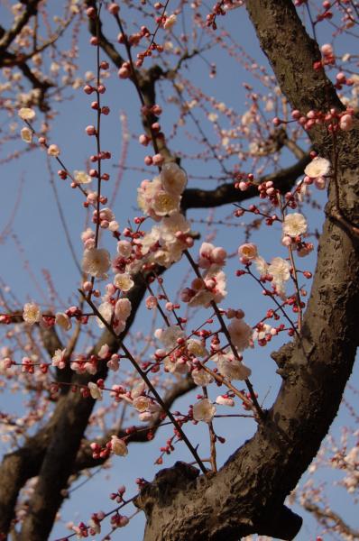 梅の花・・♪♪♪&イベントのお知らせ・・・_c0055551_1652017.jpg