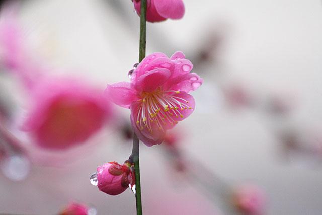 紅梅 ~春雨~_c0067040_23191139.jpg