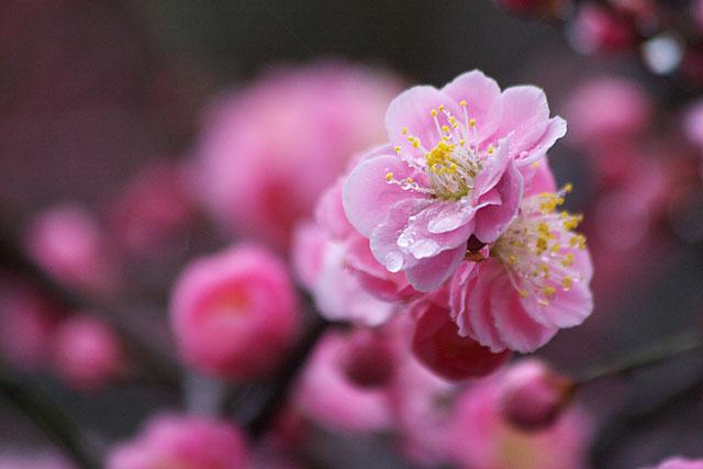 紅梅 ~春雨~_c0067040_23194922.jpg