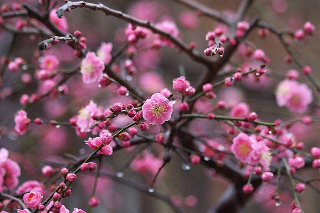 紅梅 ~春雨~_c0067040_23203131.jpg