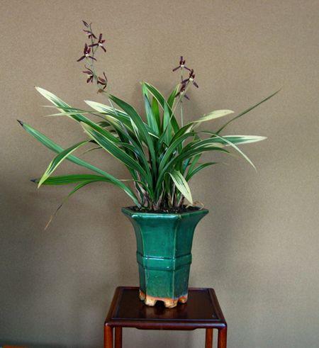 ◆ケイラン・タイミンラン「鶴の華」の花       No.234_d0103457_11121569.jpg