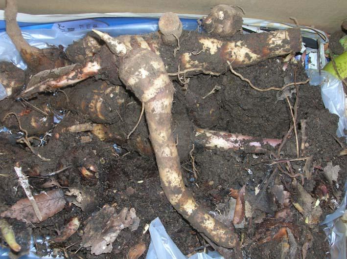 遂に故郷の実家の畑にエビイモとヤツガシラを植えた!_c0014967_14593468.jpg