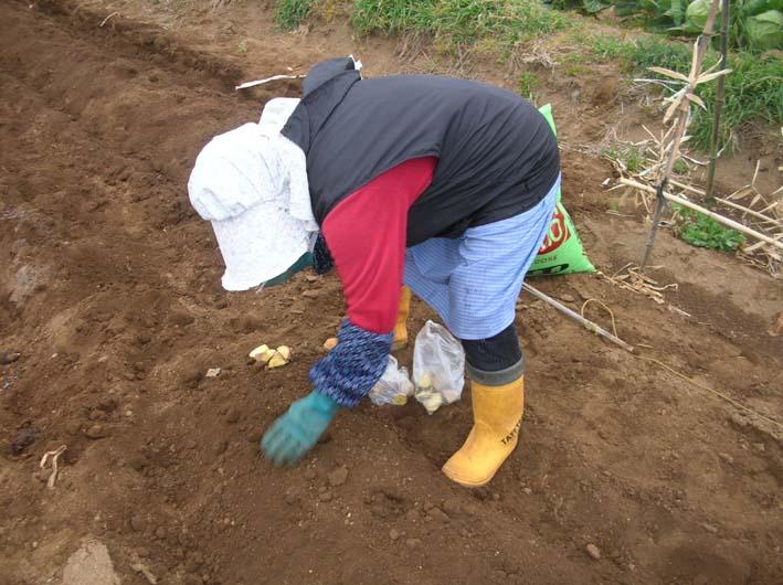 遂に故郷の実家の畑にエビイモとヤツガシラを植えた!_c0014967_1553231.jpg