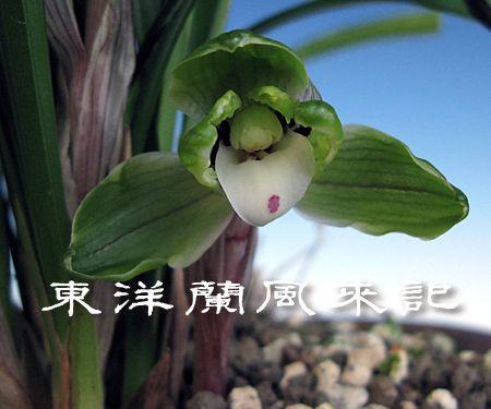 ◆中国春蘭「天興梅」、この一枚!!,、。      No.236_d0103457_0133383.jpg