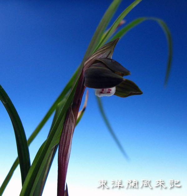 中国奥地の蘭「豆弁蘭黒花」、。          No.155_b0034163_23542595.jpg