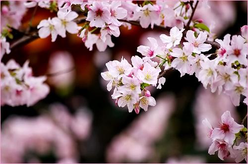 櫻花絢爛_c0073742_0202813.jpg