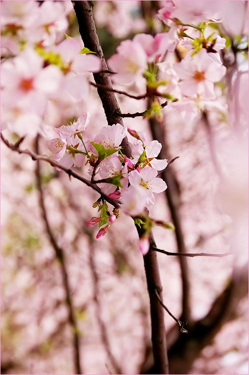 櫻花絢爛_c0073742_0262275.jpg