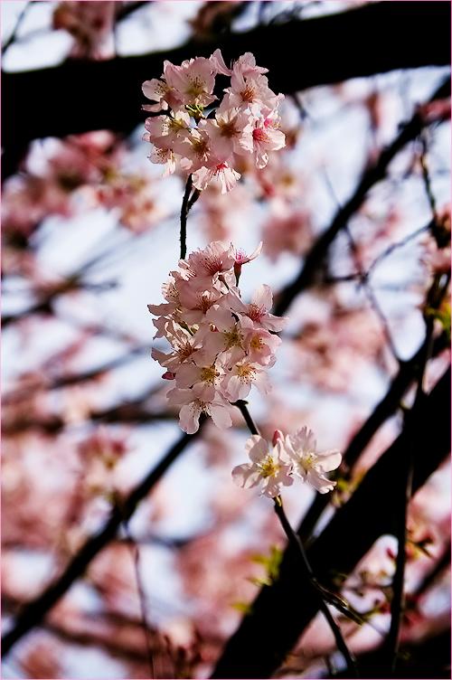 櫻花絢爛_c0073742_1154239.jpg