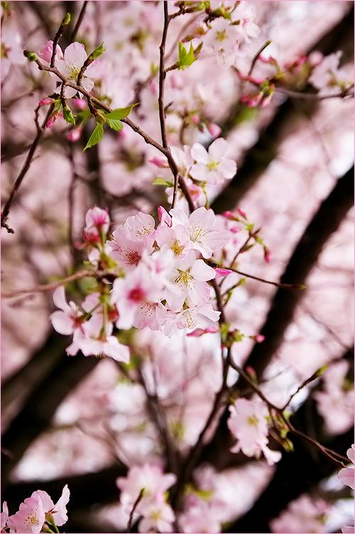 櫻花絢爛_c0073742_1365213.jpg