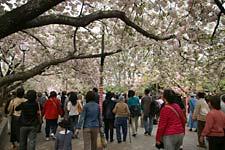 京阪神の桜ポイント_a0084343_11423979.jpg