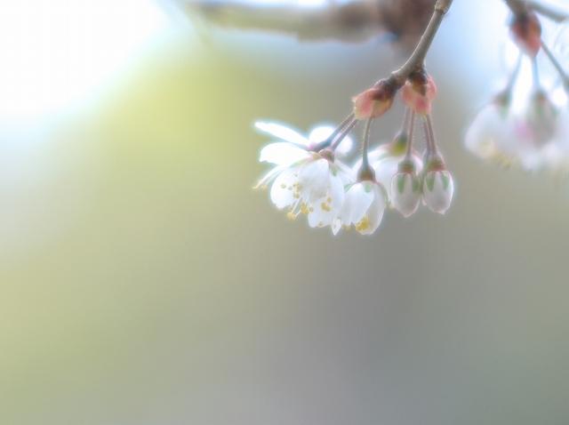 彼岸桜 1_f0018464_7465932.jpg