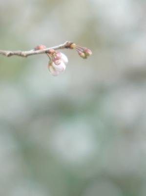 彼岸桜 1_f0018464_7471076.jpg