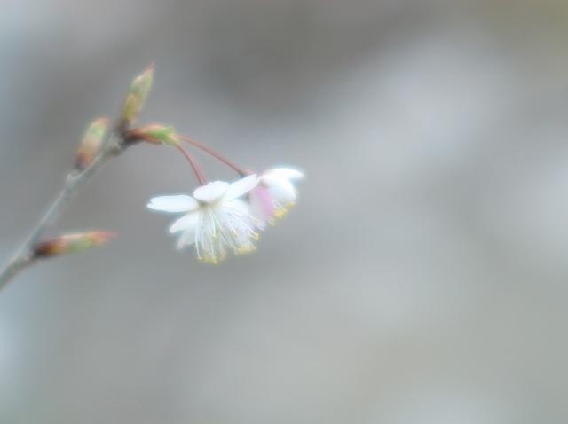 彼岸桜 1_f0018464_7473671.jpg