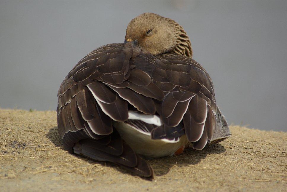 翼を傷めたヒシクイ_f0148627_23232368.jpg