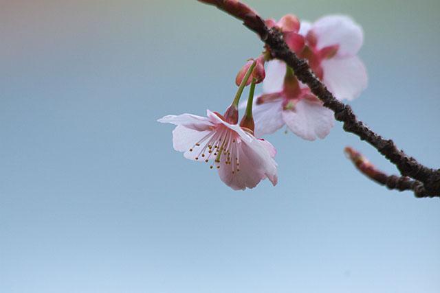 春告げ桜 2_c0067040_22225484.jpg