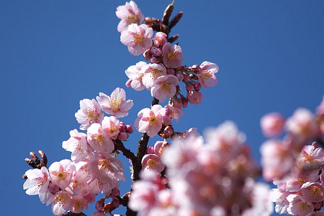 春告げ桜 2_c0067040_22253538.jpg