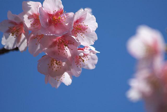 春告げ桜 2_c0067040_22254760.jpg