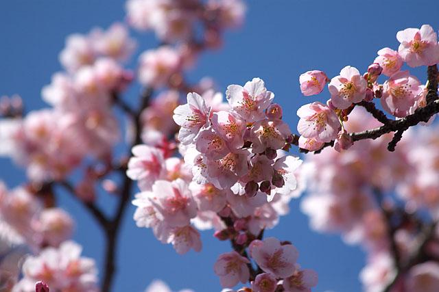 春告げ桜 2_c0067040_2228313.jpg